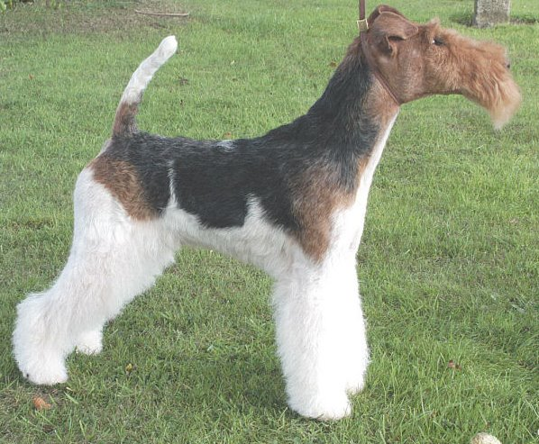 wire fox terrier haircut wire haired terrier haircut wire haired terrier haircut 5700